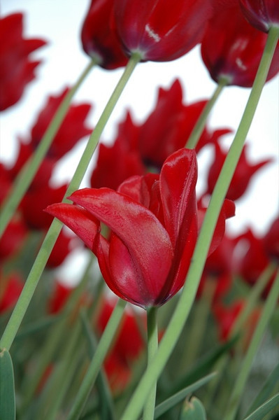 Red Tulip - Czech Republic