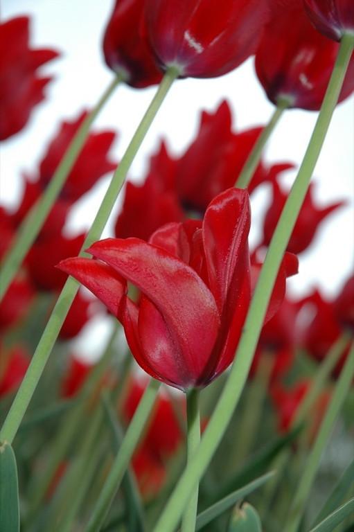 Red Tulip - Czech Republic