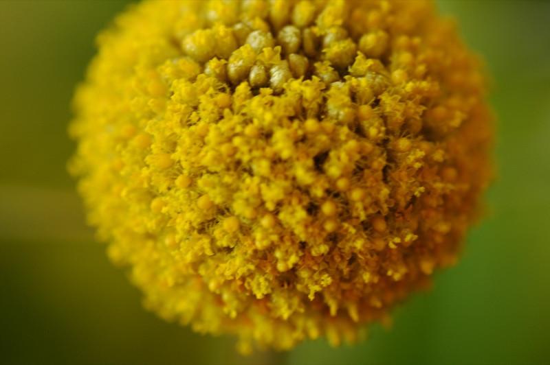 PomPom Flower - Prague, Czech Republic