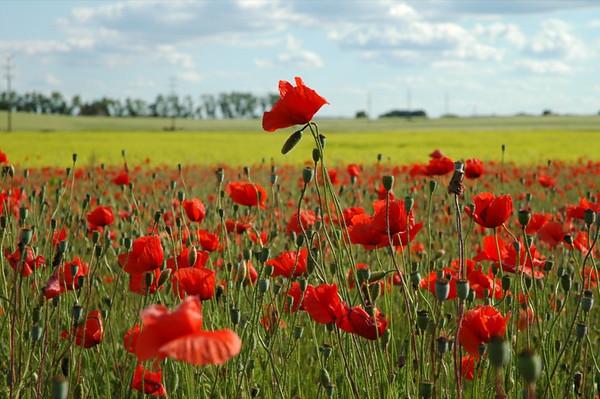 Red Poppies - Czech Republic