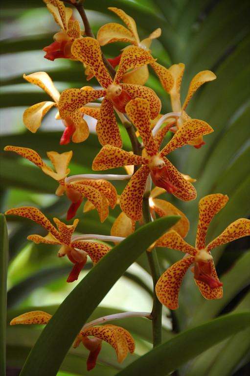 Yellow Orchids - Khao Sok, Thailand