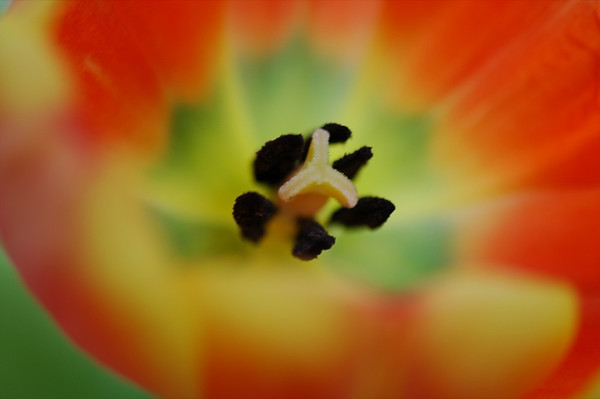 Tulip Up Close - Prague, Czech Republic