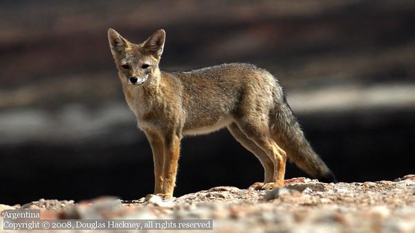 Fox. Parque Nacional Petrificado, Argentina.