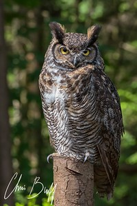 Canadian Owl - 2018 Christopher Buff, www.Aviationbuff.com