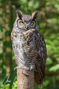 Canadian Owl