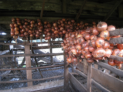 Onions drying on the farm.