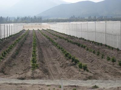 Windbreaks and crops. Near La Serena, Chile.