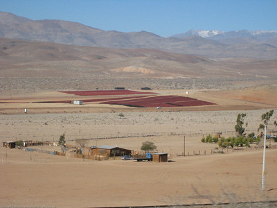Drying peppers. Northern Chile.