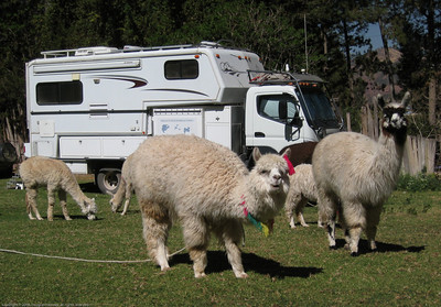 Llamas in the campground. Cusco, Peru.