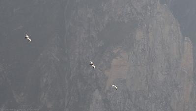 Andean condors. Colca Canyon, Peru.