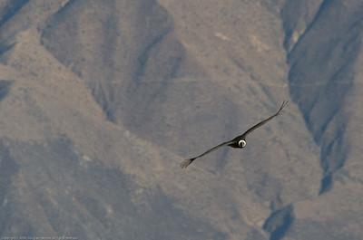 Andean condor. Colca Canyon, Peru.