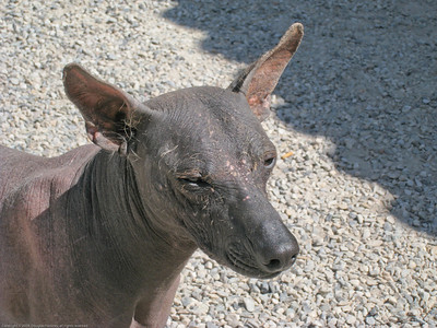 Peruvian hairless dog, a unique breed. Along the road in Peru.