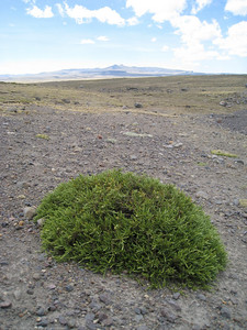 High altitude vegetation. Altitude 4,483 meters / 14,708 feet. Along the road in Peru.