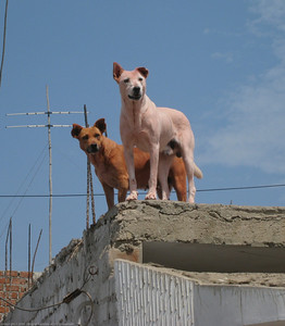 Local dogs on the rooftop. This is very common here, with most homes having dogs who like to perch on the roofs. Huanchaco, Peru.