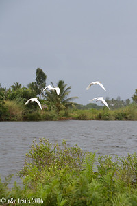white herons on pangalane's canal