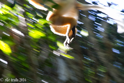 sifaka on the move