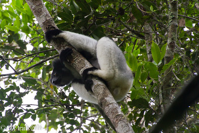 an indri on the lookout