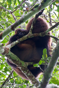 red bellied lemurs snuggle up in the chilly morning