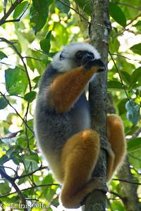 sifaka @ Analamazaotra Reserve