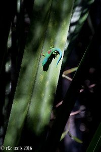 lined day gecko @ Analamazaotra Reserve