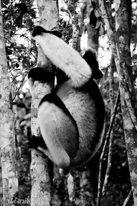indri on the move