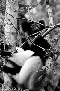 indri @ Analamazaotra Reserve