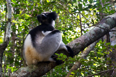 indri perching on a log