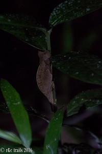 chameleon hiding at night