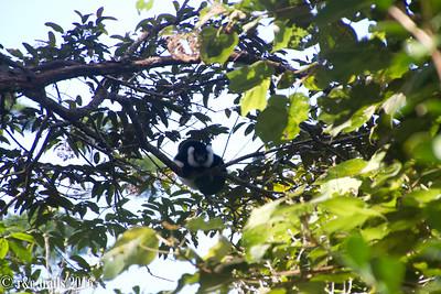 white and black raft lemur @ andisibe