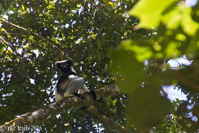 enter indri, lemur type number 3