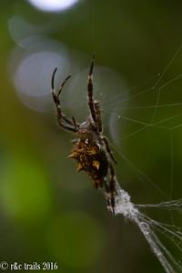 spikey spider