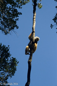 sifakas @ andisibe