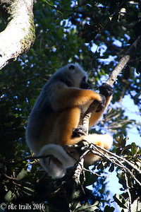 7 species of lemur hang out during the day in andisibe.  enter sifaka