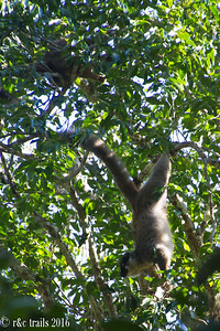common brown lemur @ andisibe