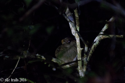 the nocturnal woolly lemur