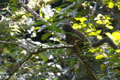 lemur type #5 - the elusive bamboo lemur