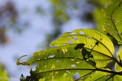 the 'little 5' - giraffe weevil