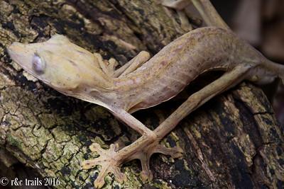 albino-like gecko