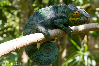 chameleons have lovely swirly tails and telescope eyes