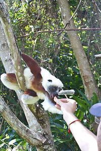 feeding a lemur!