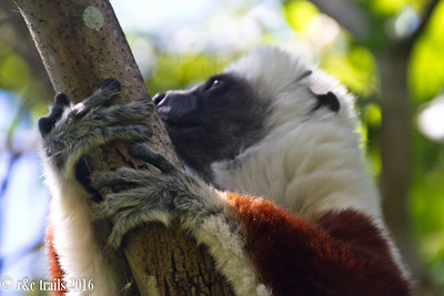 lemur hands