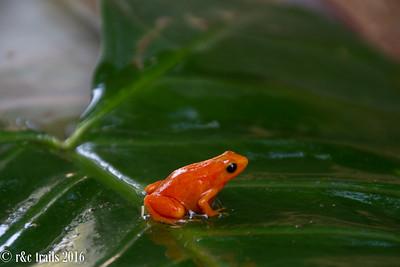 tiny frogs @ peyrieras reserve
