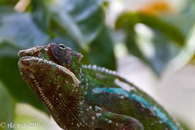chameleons @ peyrieras reserve