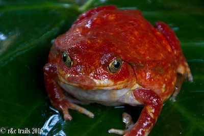 a tomato toad