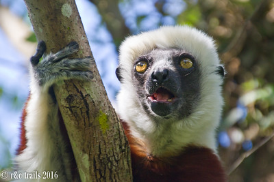 Coquerel's Sifaka sitting in a tree...