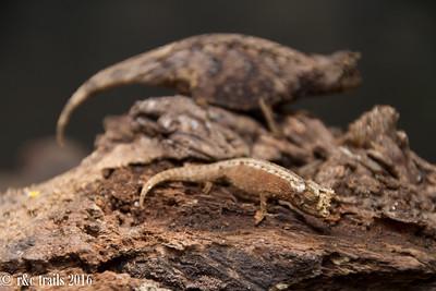 chameleons blending in