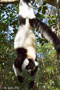 insert hanging around cliche here.  black and white raft lemur