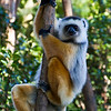 the super soft sifaka lemur @ vakona park