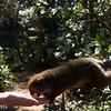 feeding a bamboo lemur