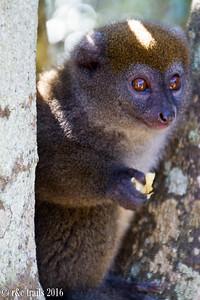 bamboo lemur @ vakona park